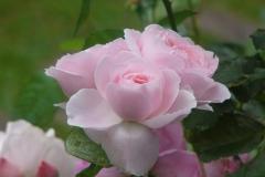 赤、ピンクの花